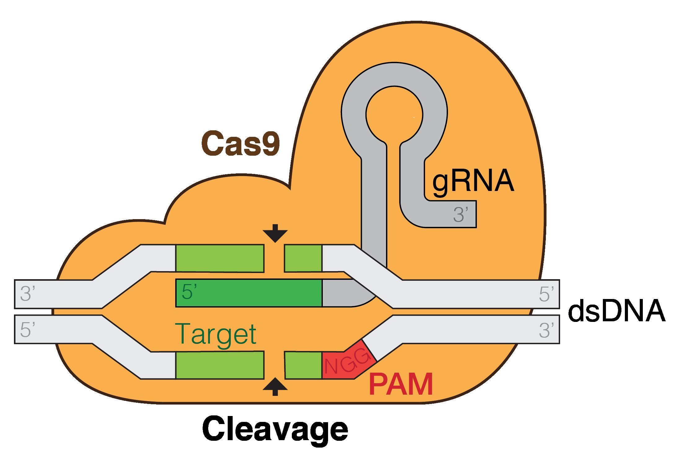 CRISPR-CAS9 Nedir Resim 2